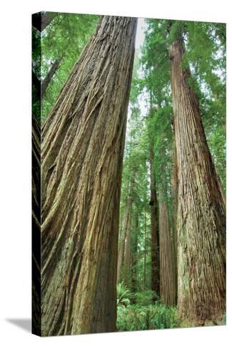 Redwoods Forest II-Alan Majchrowicz-Stretched Canvas Print