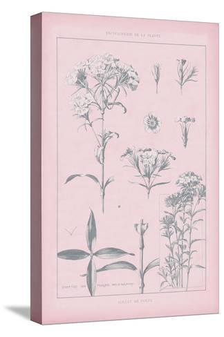 Rose Quartz Phlox-Wild Apple Portfolio-Stretched Canvas Print