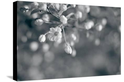 Blush Blossoms II BW-Sue Schlabach-Stretched Canvas Print