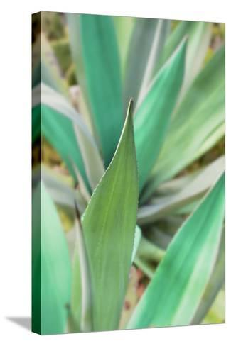 Agave Succulent #3-Alan Blaustein-Stretched Canvas Print