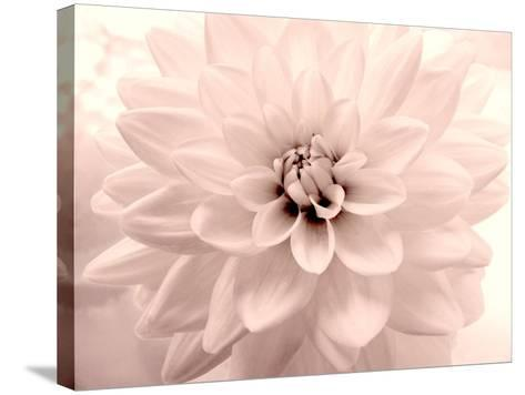 Pink Dahlia 2-Judy Stalus-Stretched Canvas Print