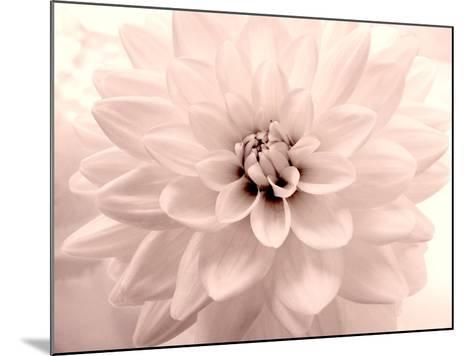 Pink Dahlia 2-Judy Stalus-Mounted Photographic Print