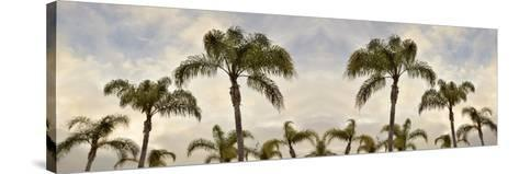 Palm Banner #2 - Color-Alan Blaustein-Stretched Canvas Print