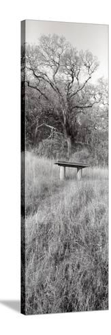 Novato Oak-Alan Blaustein-Stretched Canvas Print