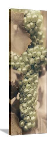 Chardonnay-Alan Blaustein-Stretched Canvas Print
