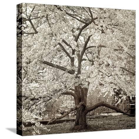 Hampton Magnolia #2-Alan Blaustein-Stretched Canvas Print