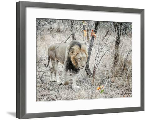 Lion-Helene Sobol-Framed Art Print
