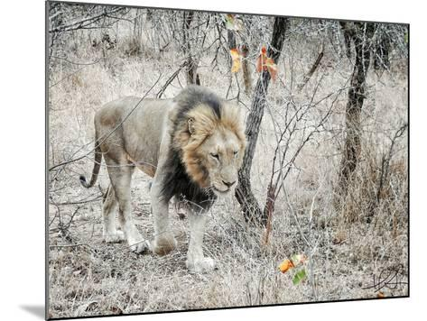 Lion-Helene Sobol-Mounted Photographic Print
