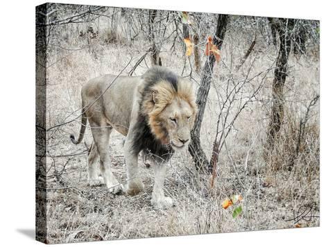 Lion-Helene Sobol-Stretched Canvas Print