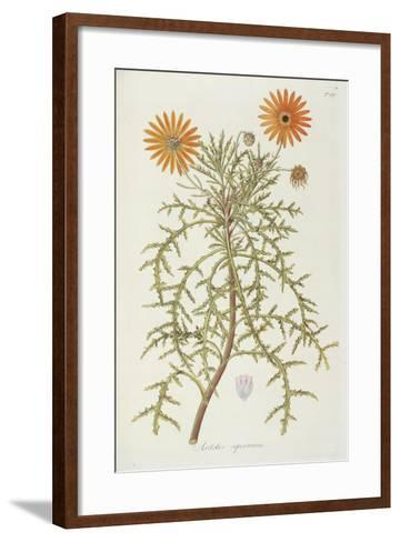 Smithsonian Libraries: Arctotis squarrosa--Framed Art Print