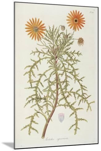 Smithsonian Libraries: Arctotis squarrosa--Mounted Art Print