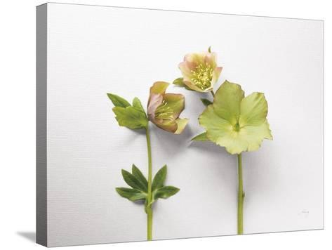 Hellebore Study IV-Felicity Bradley-Stretched Canvas Print