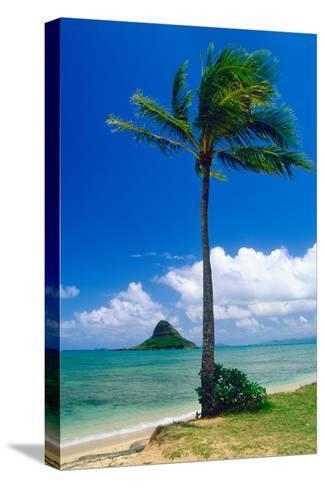 Kaneohe Bay Palm Tree, Hawaii-George Oze-Stretched Canvas Print