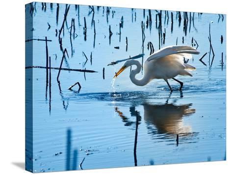 Wild Egret Fishing Horicon Marsh Wisconsin-Steve Gadomski-Stretched Canvas Print