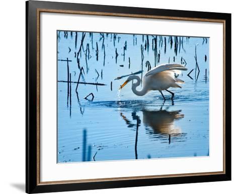 Wild Egret Fishing Horicon Marsh Wisconsin-Steve Gadomski-Framed Art Print