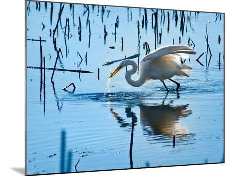 Wild Egret Fishing Horicon Marsh Wisconsin-Steve Gadomski-Mounted Photographic Print