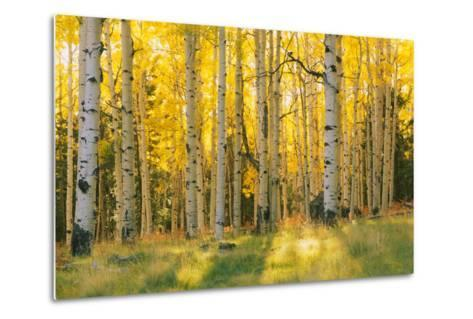Aspen trees in a forest, Coconino National Forest, Arizona, USA--Metal Print
