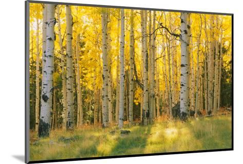Aspen trees in a forest, Coconino National Forest, Arizona, USA--Mounted Photographic Print