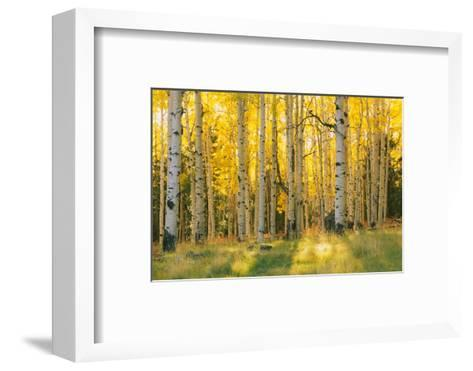 Aspen trees in a forest, Coconino National Forest, Arizona, USA--Framed Art Print