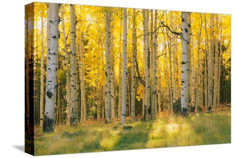 Aspen trees in a forest, Coconino National Forest, Arizona, USA--Stretched Canvas Print