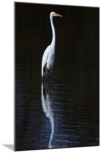 Elegant Egret II-David Drost-Mounted Photographic Print