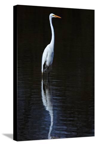 Elegant Egret II-David Drost-Stretched Canvas Print
