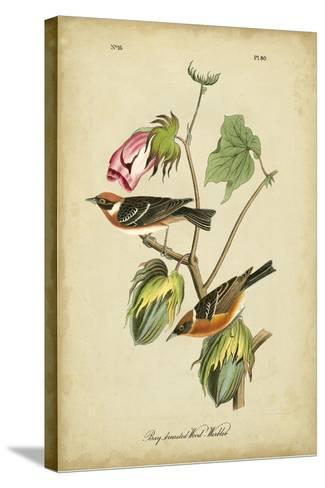 Audubon Bay Breasted Warbler-John James Audubon-Stretched Canvas Print