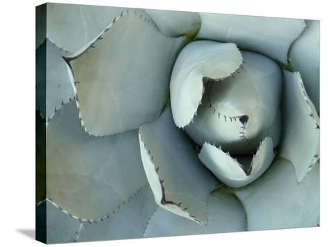 Agave Detail II-Alison Jerry-Stretched Canvas Print