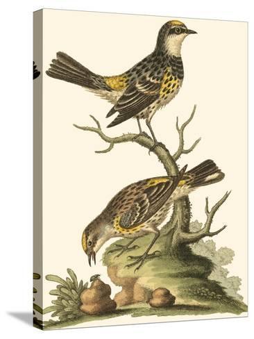Petite Bird Study III-George Edwards-Stretched Canvas Print
