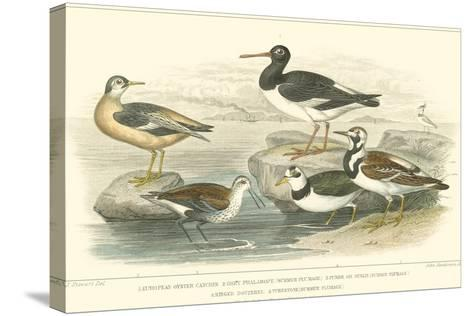 Oyster Catchers-J. Stewart-Stretched Canvas Print