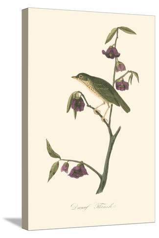 Audubon's Thrush-John James Audubon-Stretched Canvas Print