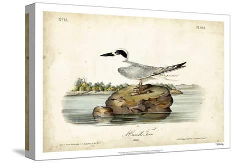 Audubon Havells Tern-John James Audubon-Stretched Canvas Print
