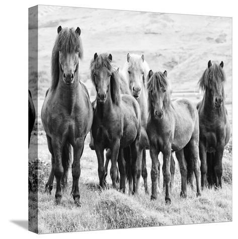 B&W Horses VIII-PHBurchett-Stretched Canvas Print