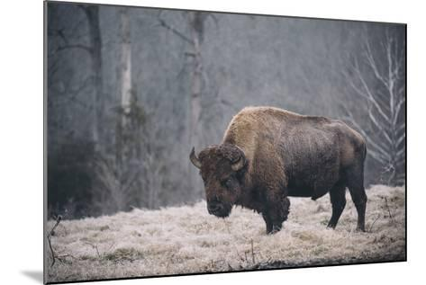 Solitary Bison II-Adam Mead-Mounted Photographic Print