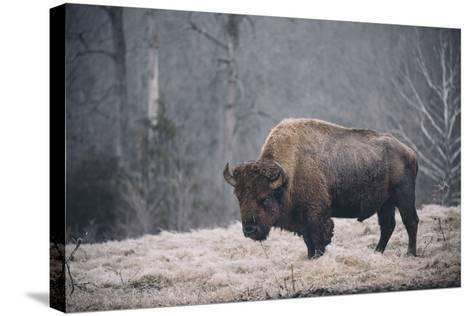 Solitary Bison II-Adam Mead-Stretched Canvas Print