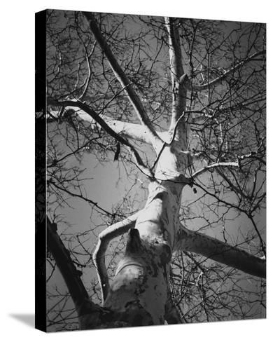Classic Birch I-Ethan Harper-Stretched Canvas Print