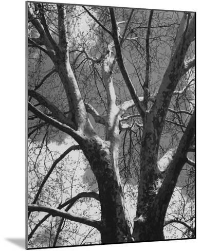 Classic Birch II-Ethan Harper-Mounted Photographic Print