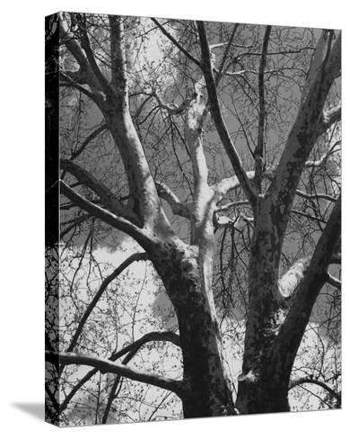 Classic Birch II-Ethan Harper-Stretched Canvas Print