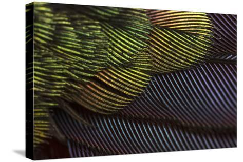 Close Up of the Iridescent Tail of a Male Tyrian Metaltail Hummingbird, Metallura Tyrianthina-Anand Varma-Stretched Canvas Print