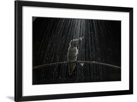 An Anna's Hummingbird, Calypte Anna, Perches on a Tree Branch under Simulated Rain-Anand Varma-Framed Art Print