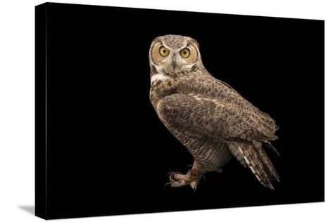 Rocky Mountains Great Horned Owl at Southwest Wildlife Conservation Center-Joel Sartore-Stretched Canvas Print