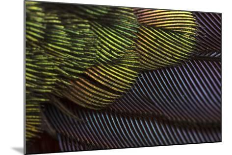 Close Up of the Iridescent Tail of a Male Tyrian Metaltail Hummingbird, Metallura Tyrianthina-Anand Varma-Mounted Photographic Print