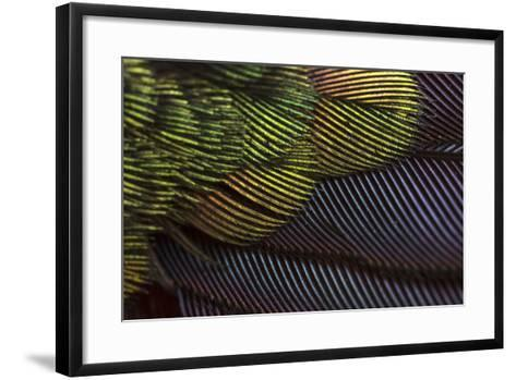 Close Up of the Iridescent Tail of a Male Tyrian Metaltail Hummingbird, Metallura Tyrianthina-Anand Varma-Framed Art Print