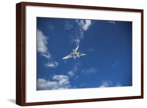 Arctic Terns Take Flight Near Rudolf Island, the Northernmost Point in Franz Josef Land-Cory Richards-Framed Art Print