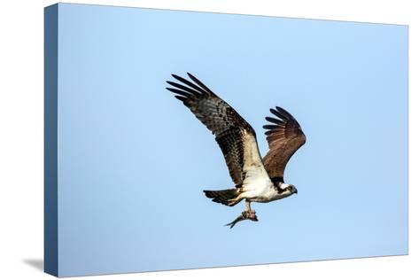 An Osprey, Pandion Haliaetus, in Flight with a Fresh-Caught Fish in its Talons-George Grall-Stretched Canvas Print