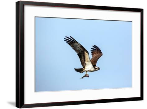 An Osprey, Pandion Haliaetus, in Flight with a Fresh-Caught Fish in its Talons-George Grall-Framed Art Print