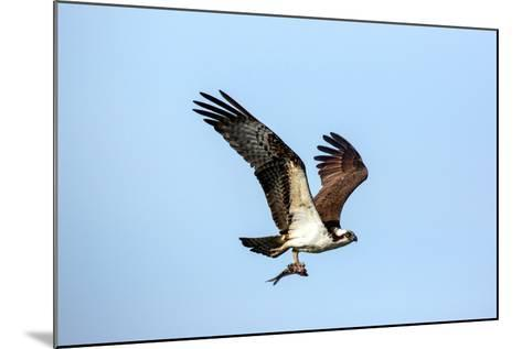 An Osprey, Pandion Haliaetus, in Flight with a Fresh-Caught Fish in its Talons-George Grall-Mounted Photographic Print