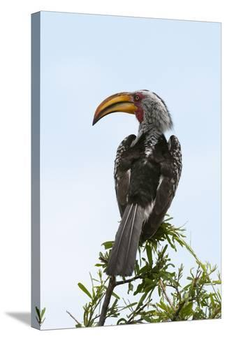 A Southern Yellow-Billed Hornbill, Tockus Leucomelas, Perching on a Branch-Sergio Pitamitz-Stretched Canvas Print