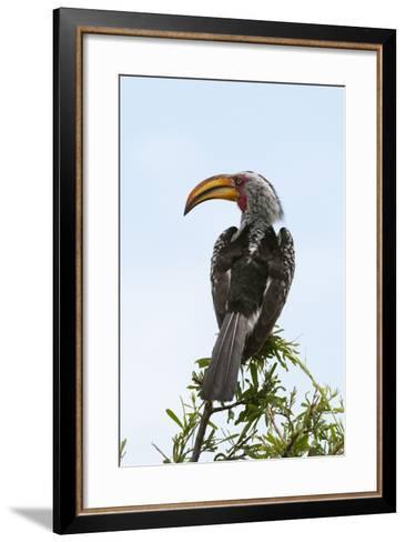 A Southern Yellow-Billed Hornbill, Tockus Leucomelas, Perching on a Branch-Sergio Pitamitz-Framed Art Print