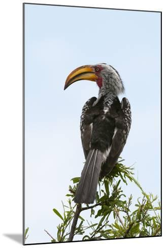 A Southern Yellow-Billed Hornbill, Tockus Leucomelas, Perching on a Branch-Sergio Pitamitz-Mounted Photographic Print